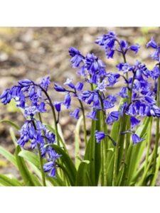 Woodland bulbs flowering  5 weeks