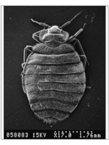Mary Evans Prints Online microscope  bed bugs